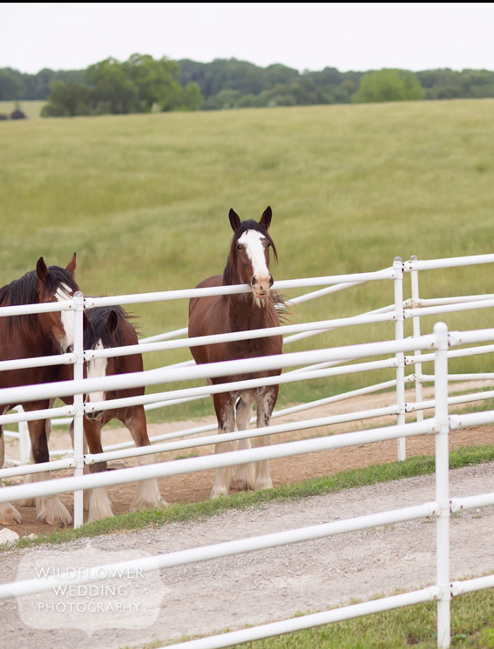 Clydesdale Horses, Coopers Ridge,